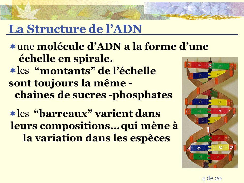La Structure de l'ADN une molécule d'ADN a la forme d'une