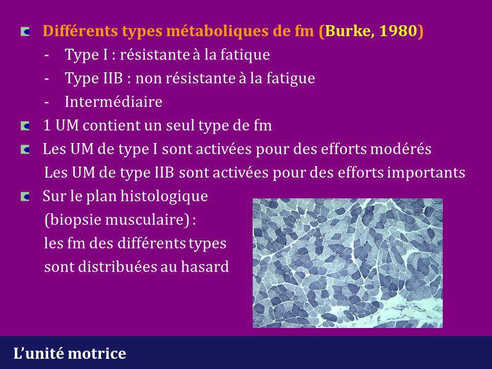 Différents types métaboliques de fm (Burke, 1980). -