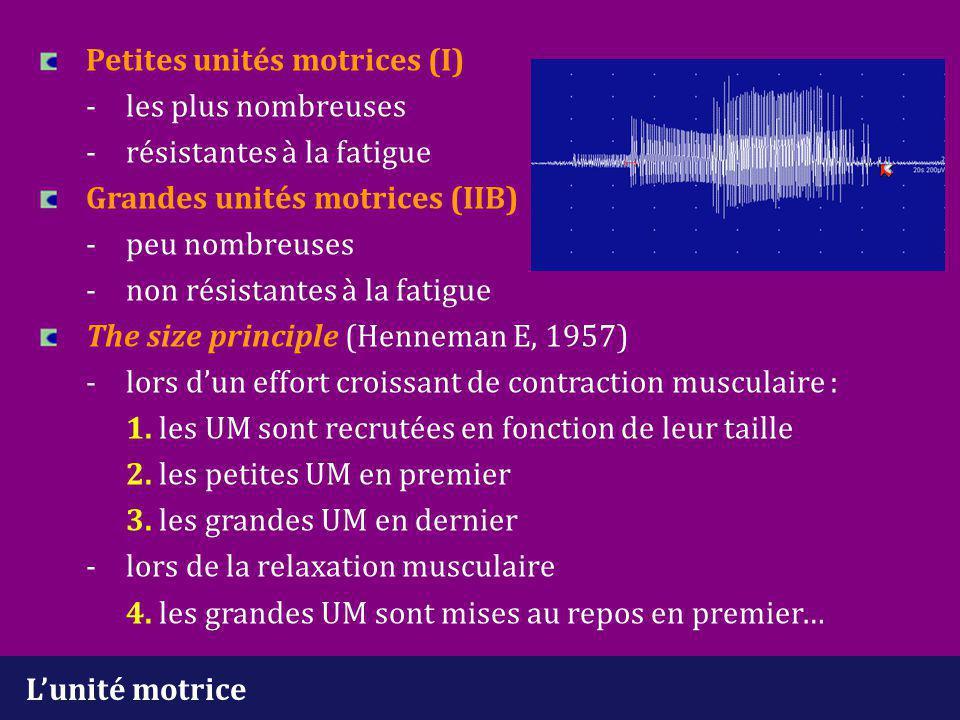 Petites unités motrices (I). -. les plus nombreuses. -