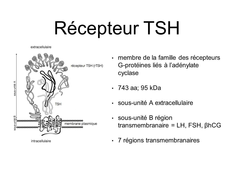 Récepteur TSH membre de la famille des récepteurs G-protéines liés à l'adénylate cyclase. 743 aa; 95 kDa.