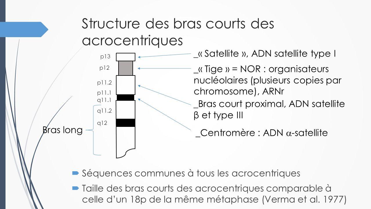 Structure des bras courts des acrocentriques