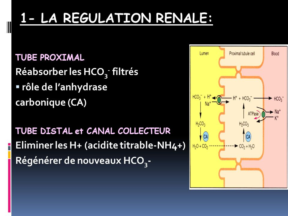 1- LA REGULATION RENALE: