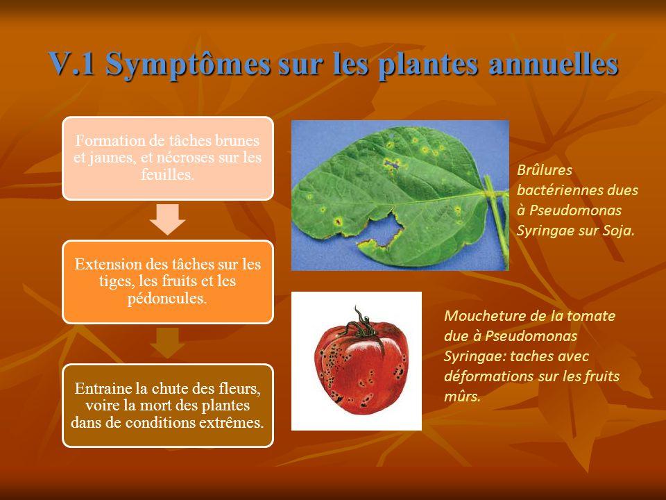 V.1 Symptômes sur les plantes annuelles