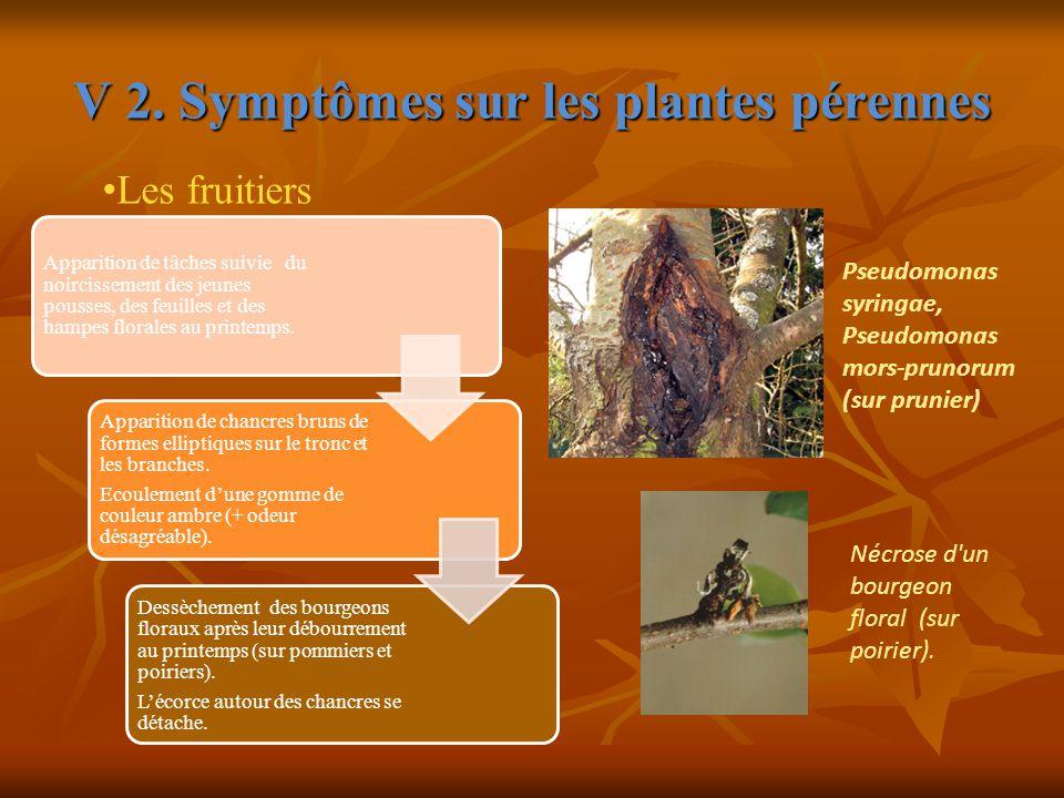 V 2. Symptômes sur les plantes pérennes