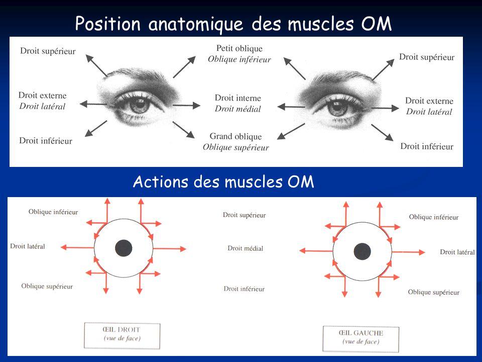 Position anatomique des muscles OM