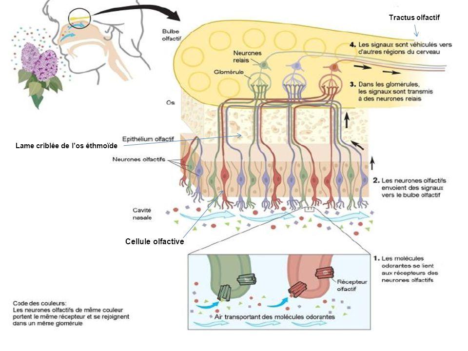 Tractus olfactif Lame criblée de l'os éthmoïde Cellule olfactive