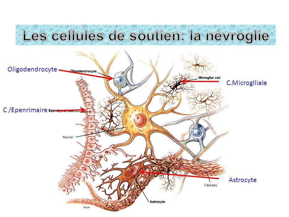 Les cellules de soutien: la névroglie