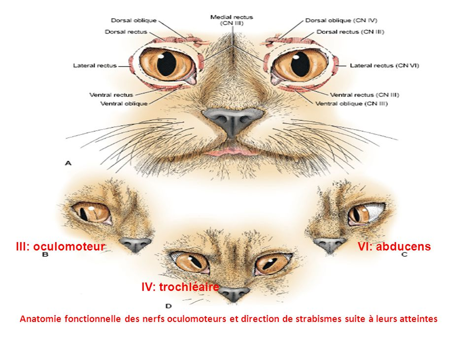 III: oculomoteur VI: abducens IV: trochléaire