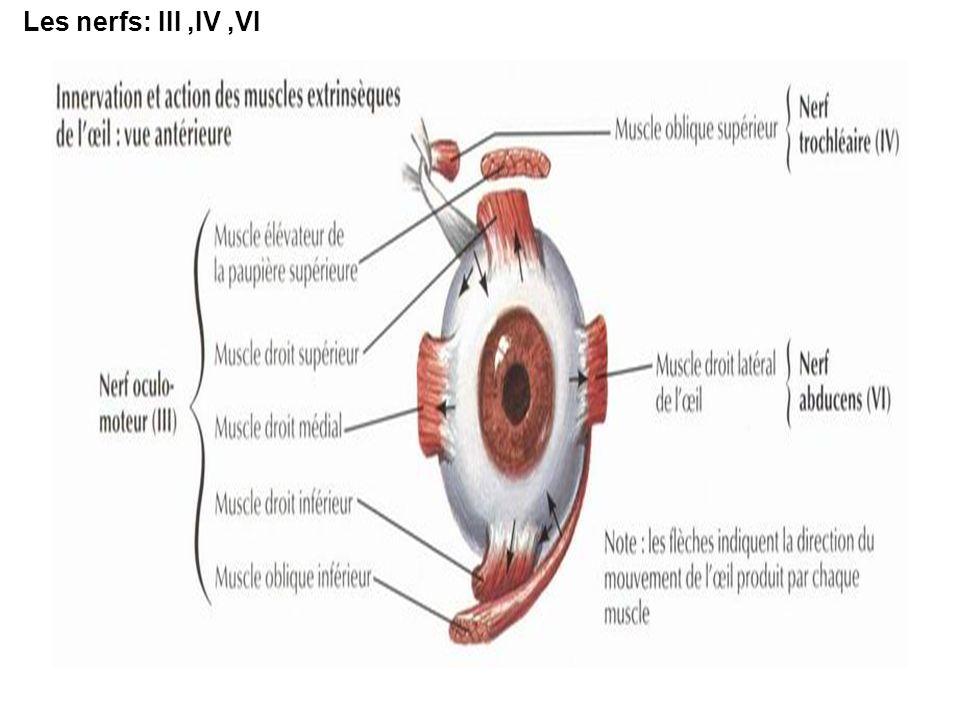 Les nerfs: III ,IV ,VI