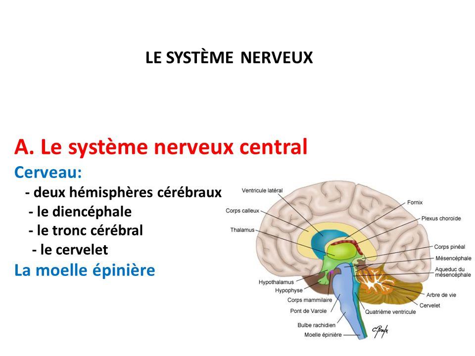A. Le système nerveux central