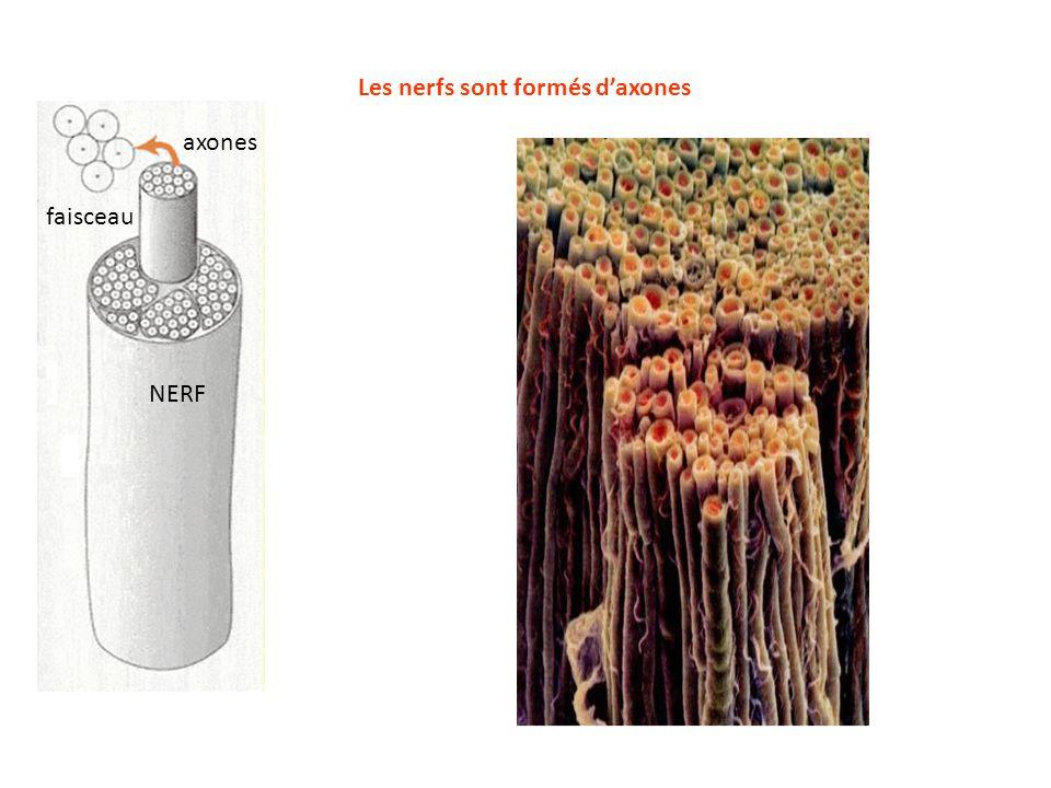 Les nerfs sont formés d'axones