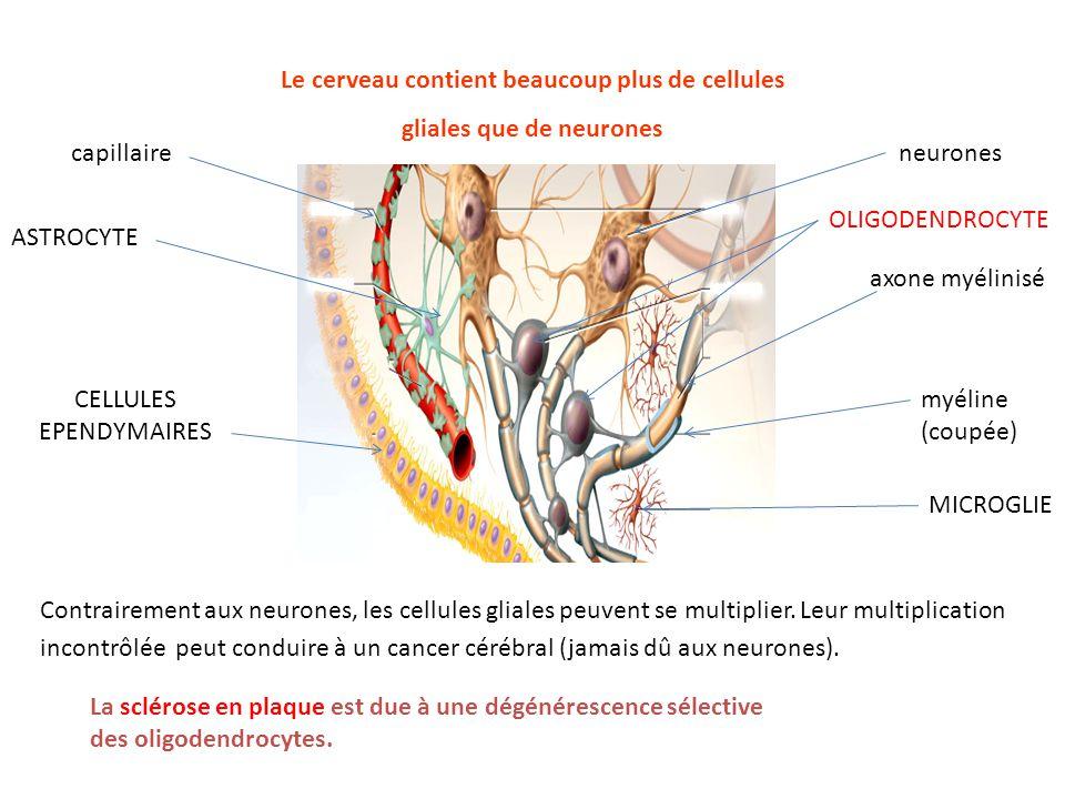 Le cerveau contient beaucoup plus de cellules gliales que de neurones