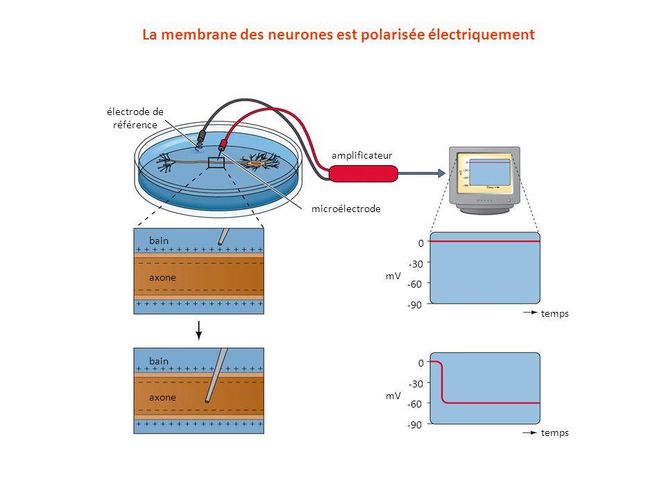 La membrane des neurones est polarisée électriquement