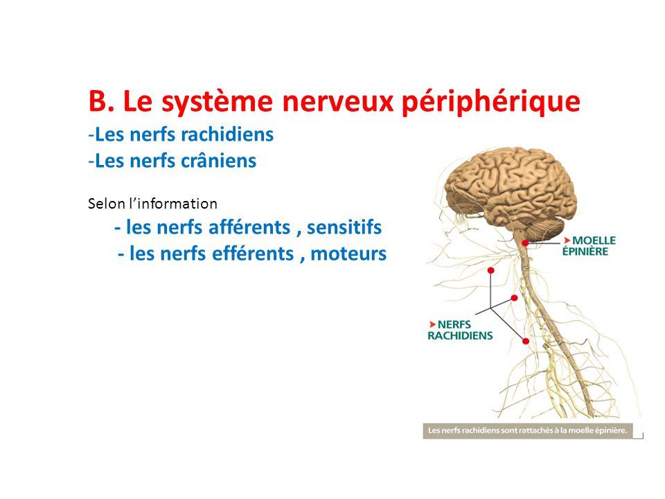 B. Le système nerveux périphérique