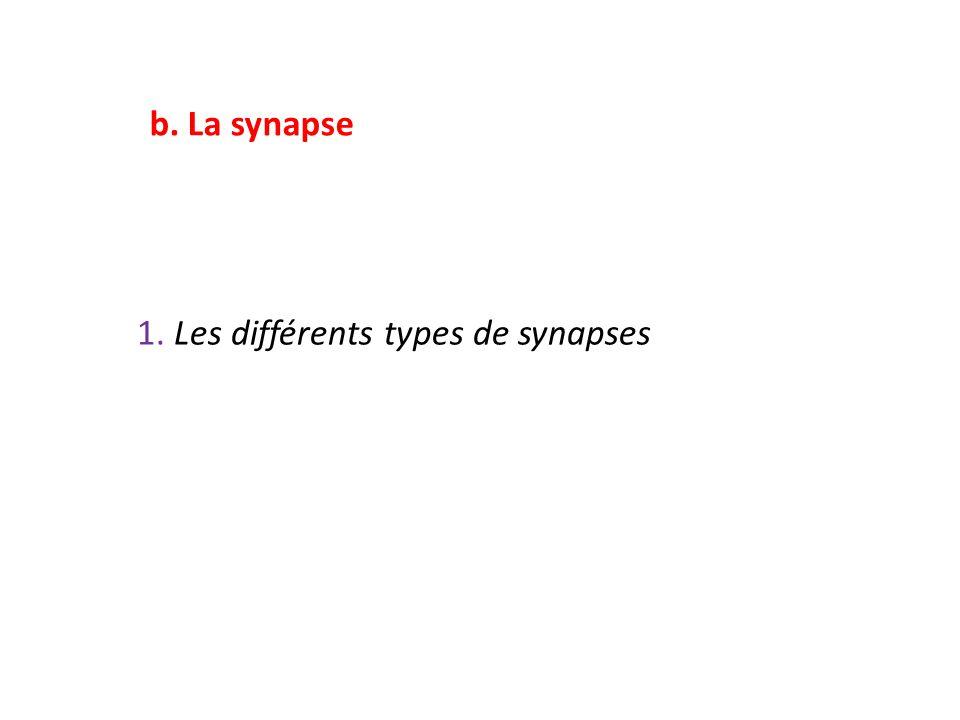 b. La synapse 1. Les différents types de synapses
