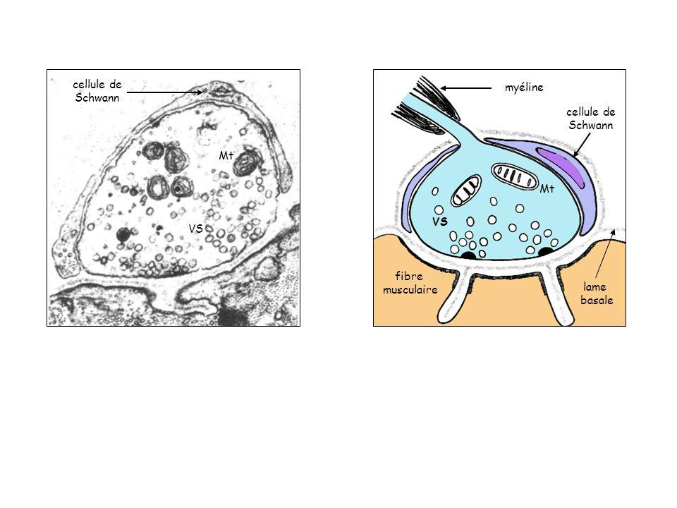 Mt VS cellule de Schwann myéline cellule de Schwann fibre musculaire lame basale Mt VS