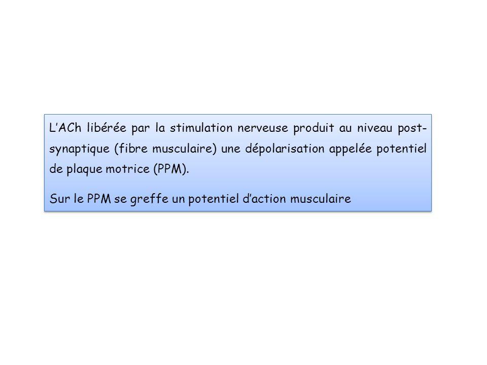 L'ACh libérée par la stimulation nerveuse produit au niveau post-synaptique (fibre musculaire) une dépolarisation appelée potentiel de plaque motrice (PPM).