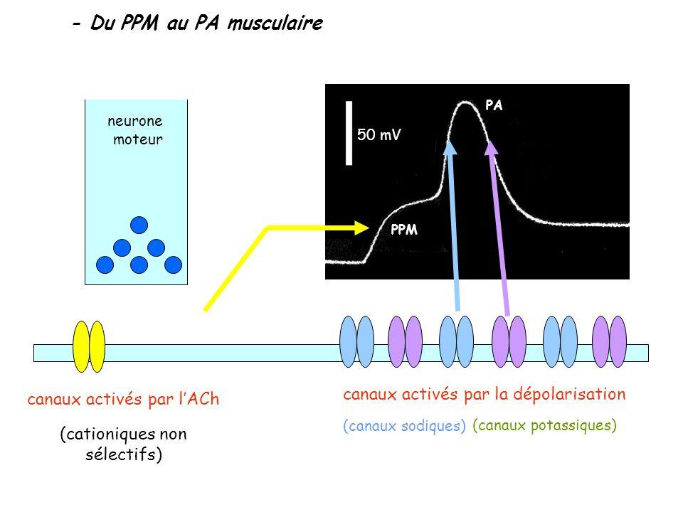 - Du PPM au PA musculaire