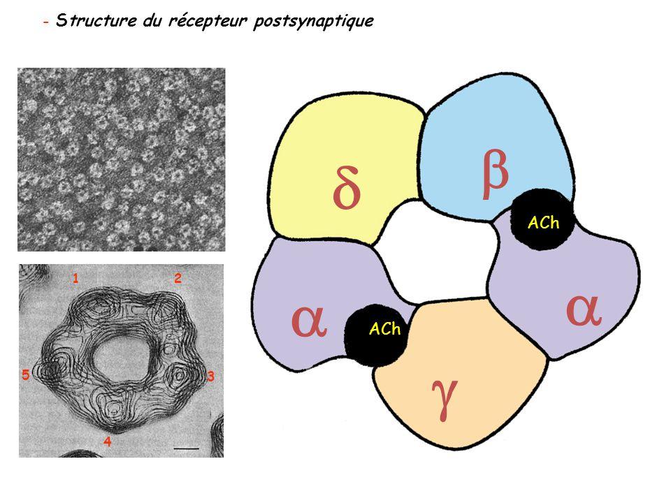 - Structure du récepteur postsynaptique