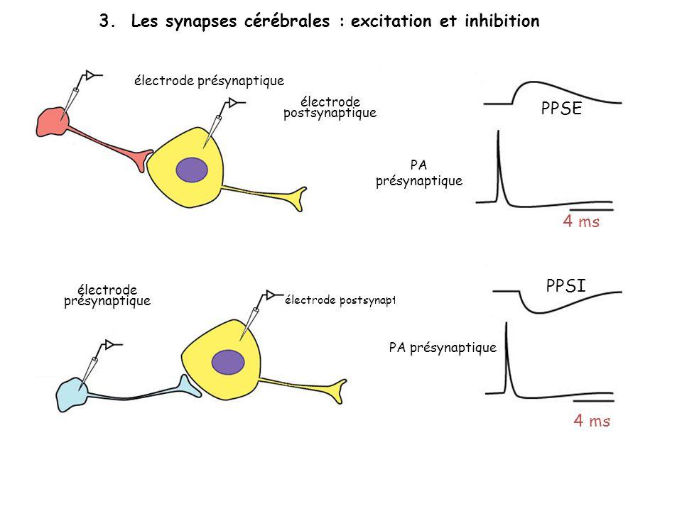 3. Les synapses cérébrales : excitation et inhibition