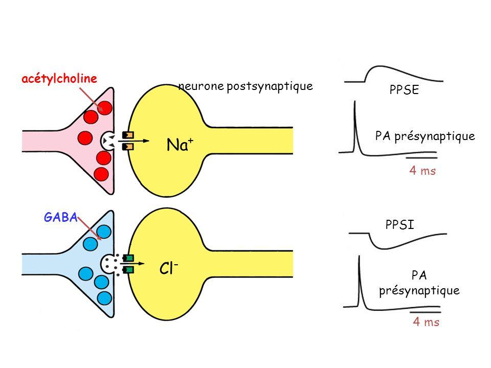 neurone postsynaptique