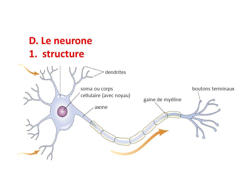 D. Le neurone 1. structure dendrites