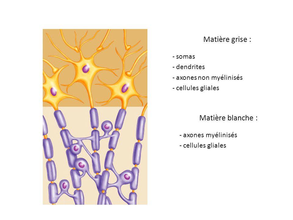 Matière grise : Matière blanche : somas dendrites