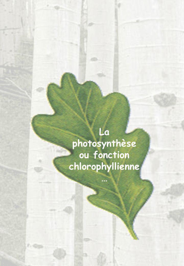 La photosynthèse ou fonction chlorophyllienne …