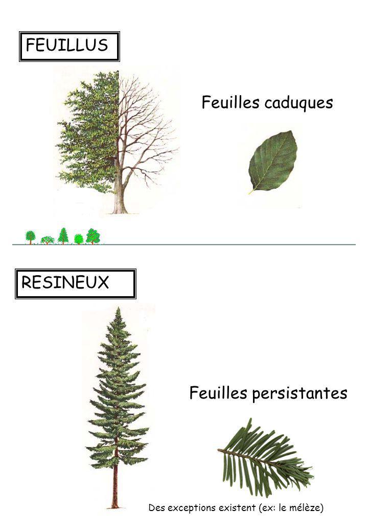 L arbre ppt t l charger for Arbres a feuilles persistantes