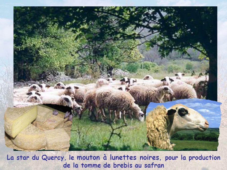 La star du Quercy, le mouton à lunettes noires, pour la production de la tomme de brebis au safran