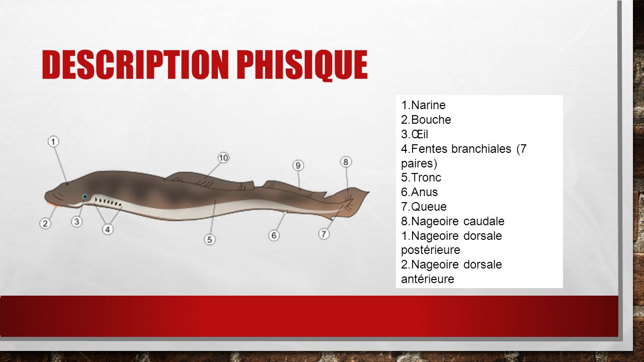 Description phisique Narine Bouche Œil Fentes branchiales (7 paires)