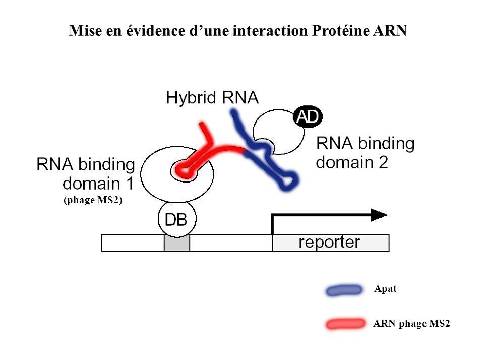 Mise en évidence d'une interaction Protéine ARN