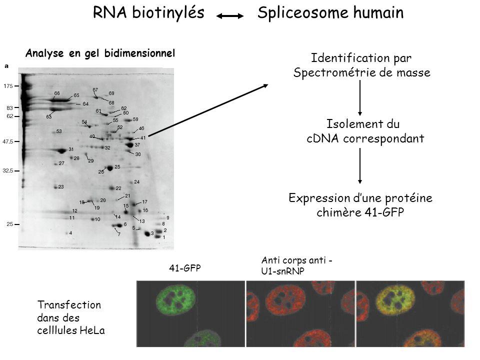 RNA biotinylés Spliceosome humain Identification par