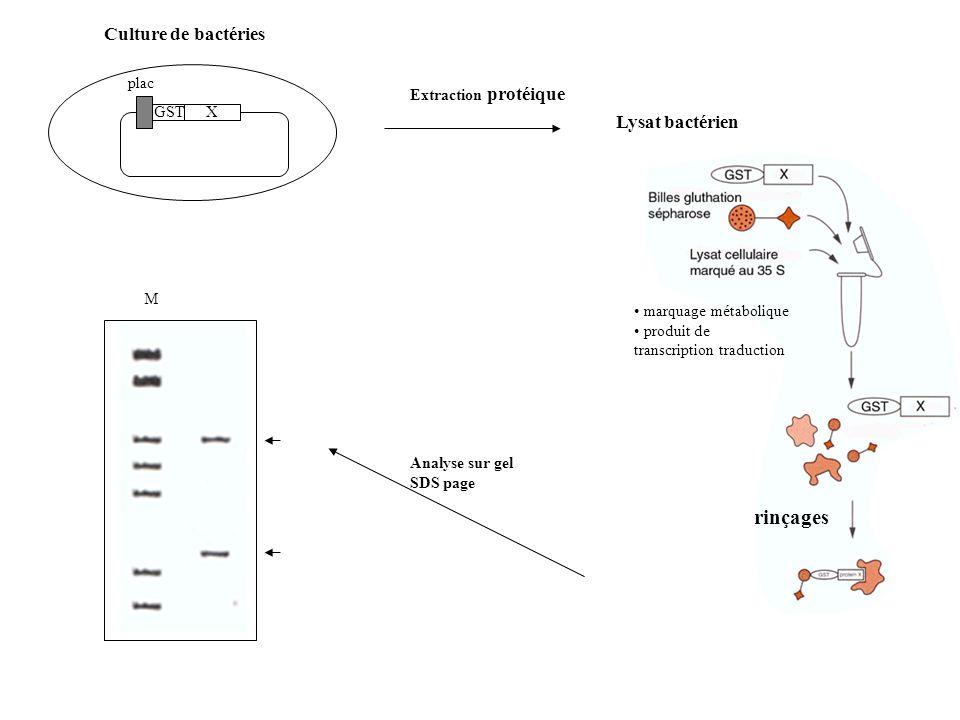 rinçages Culture de bactéries Lysat bactérien plac