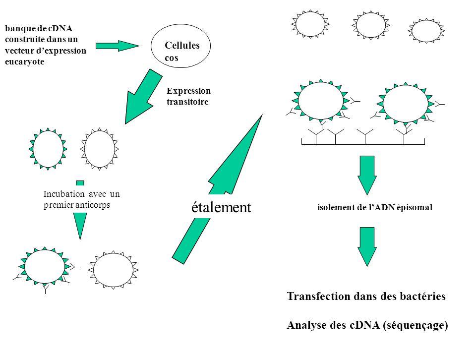 étalement Transfection dans des bactéries