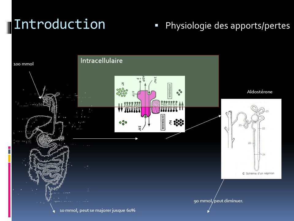 Introduction Physiologie des apports/pertes Intracellulaire 100 mmol
