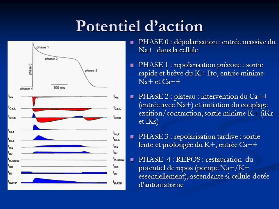 Potentiel d'action PHASE 0 : dépolarisation : entrée massive du Na+ dans la cellule.