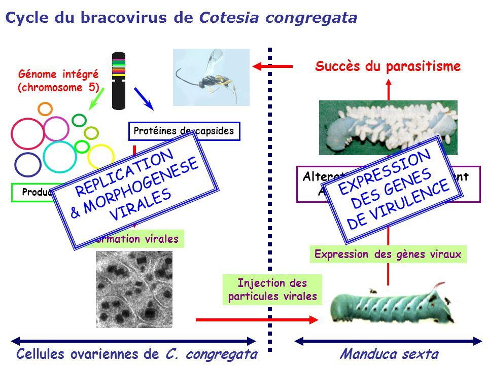 Cycle du bracovirus de Cotesia congregata