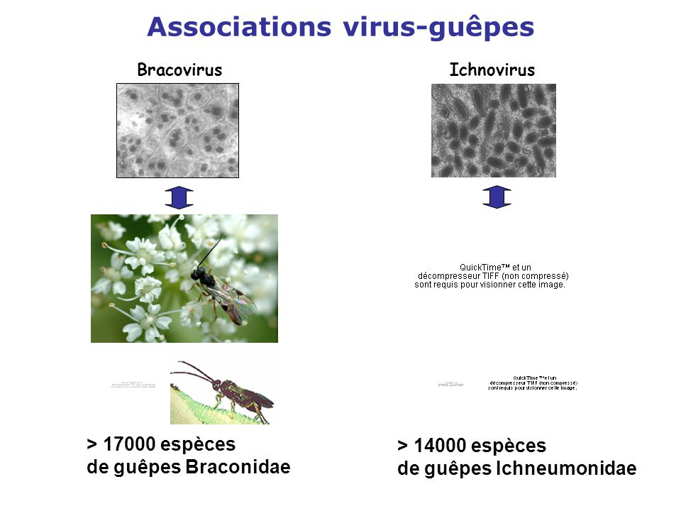 Associations virus-guêpes