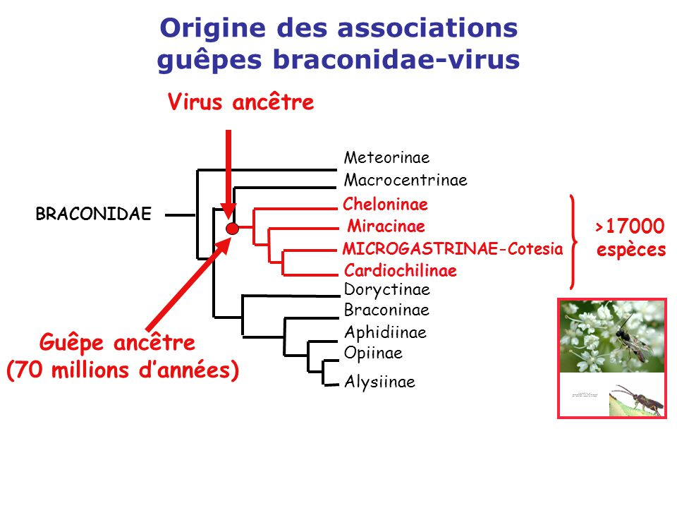 Origine des associations guêpes braconidae-virus