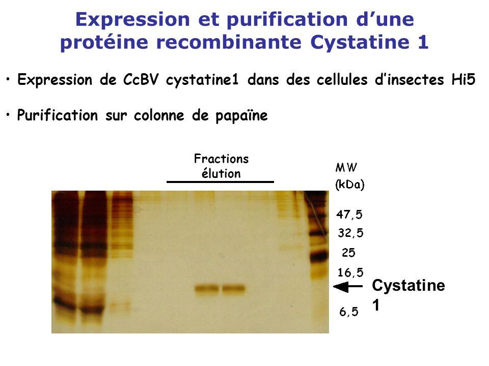 Expression et purification d'une protéine recombinante Cystatine 1