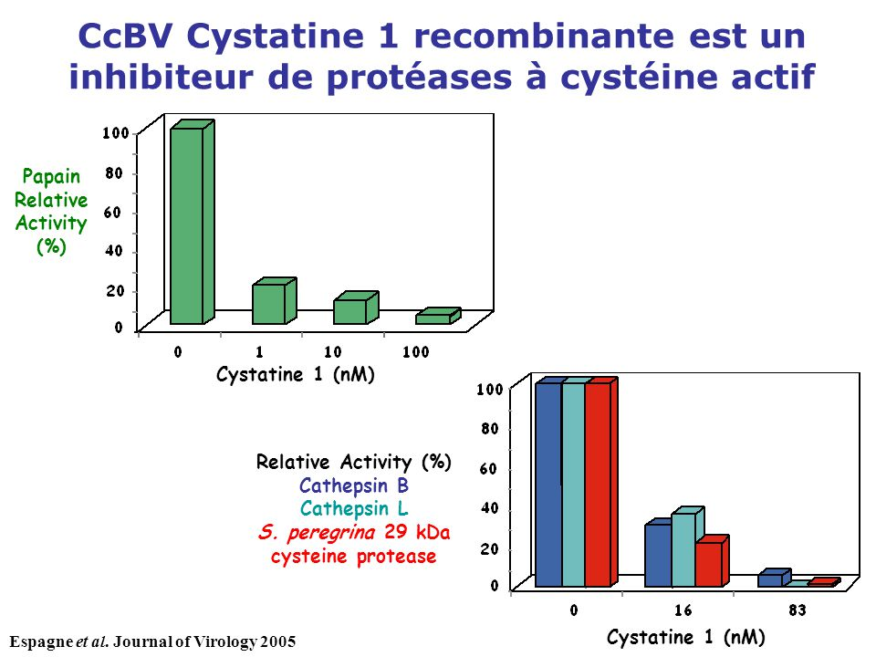 S. peregrina 29 kDa cysteine protease