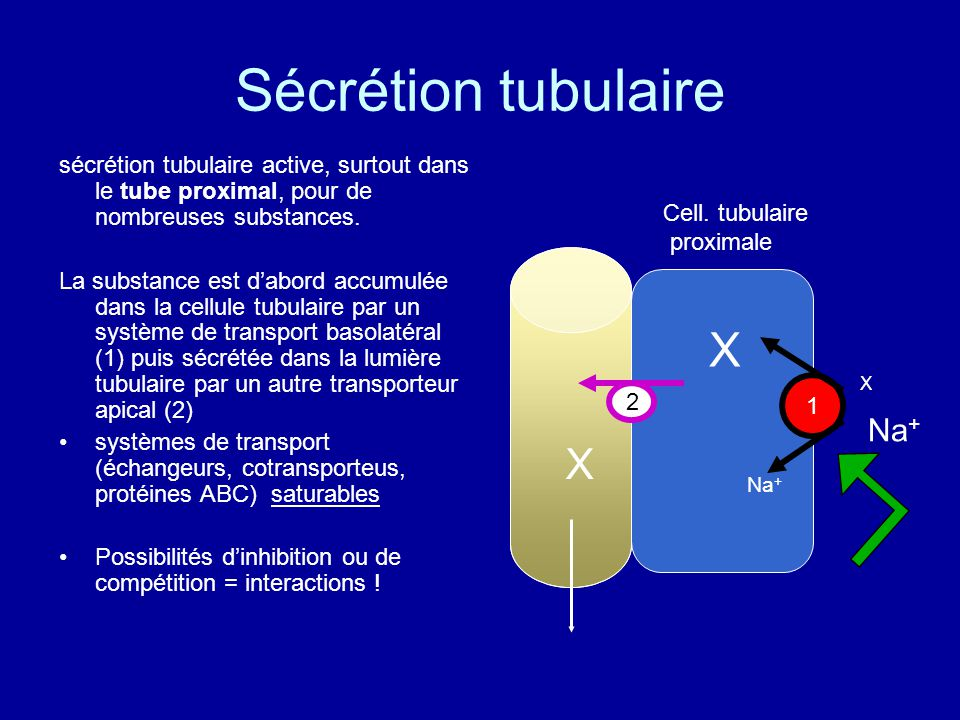 Sécrétion tubulaire X X Na+