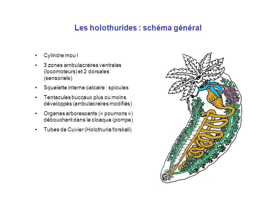 Les holothurides : schéma général