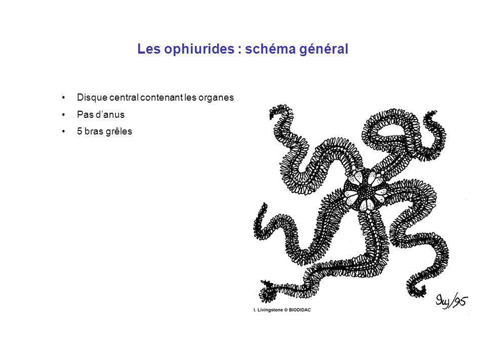 Les ophiurides : schéma général