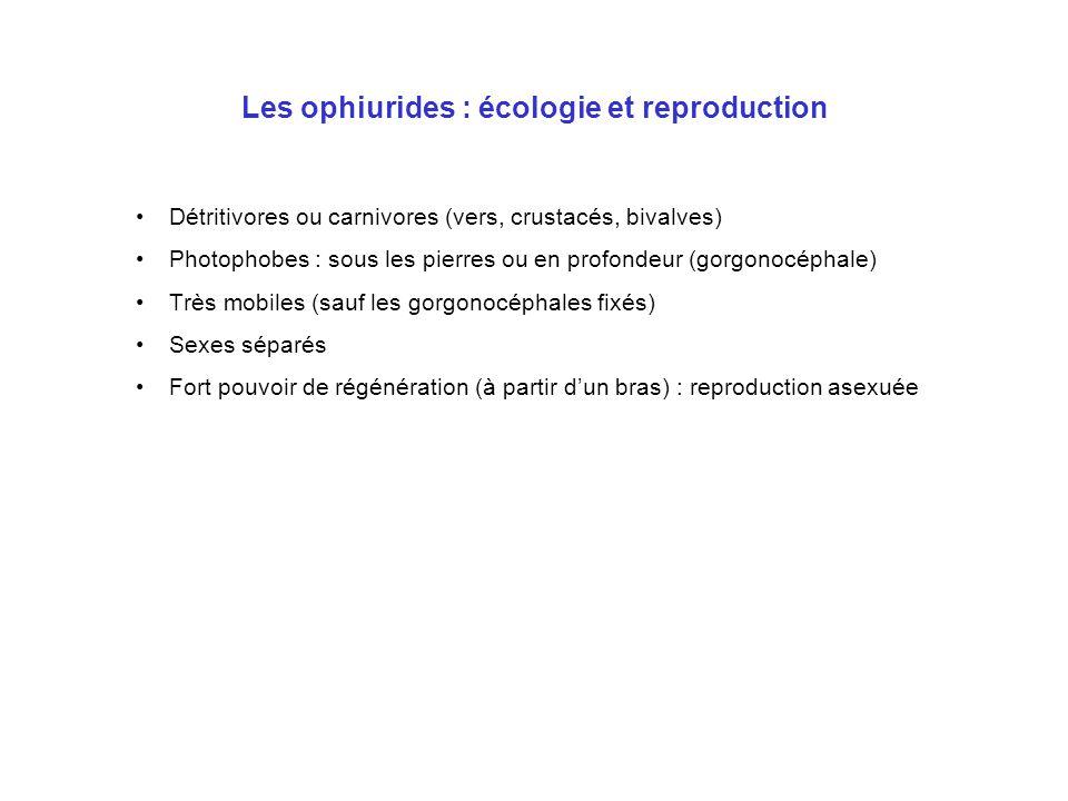 Les ophiurides : écologie et reproduction