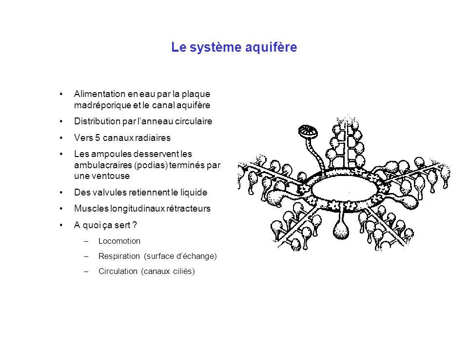 Le système aquifère Alimentation en eau par la plaque madréporique et le canal aquifère. Distribution par l'anneau circulaire.
