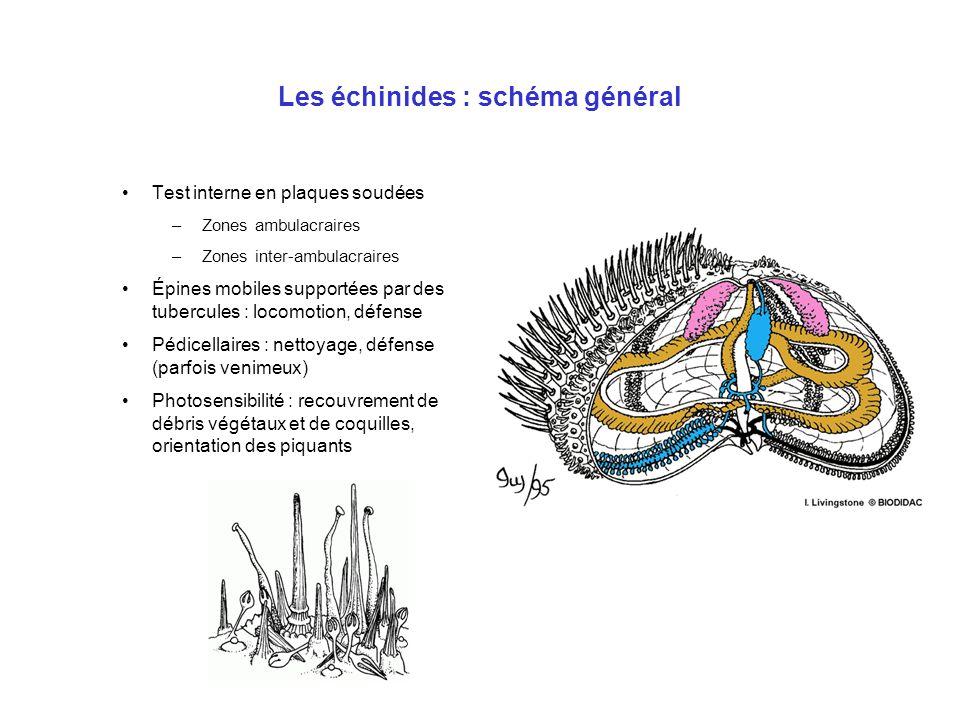 Les échinides : schéma général