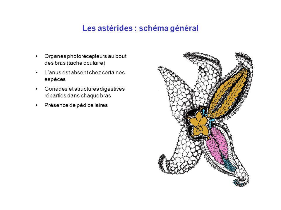 Les astérides : schéma général
