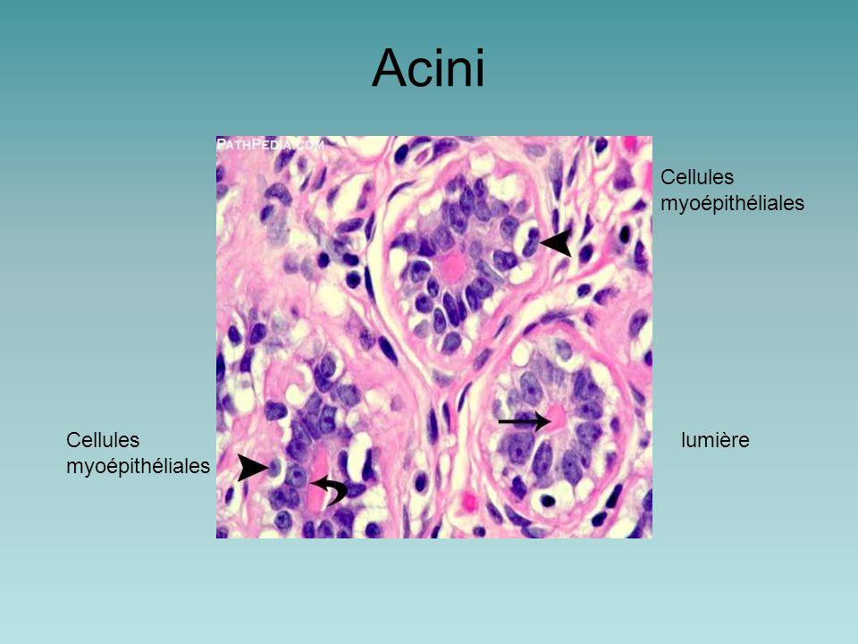 Acini Cellules myoépithéliales Cellules myoépithéliales lumière